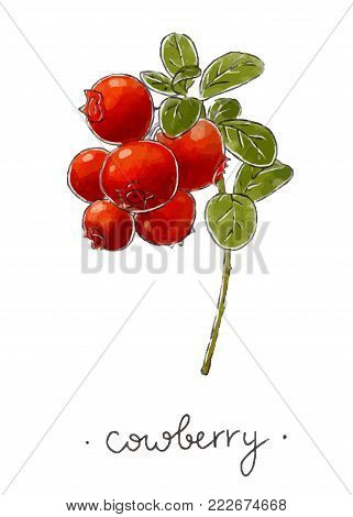 Wild plant cowberry hand drawn in color. Vector illustration