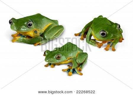 Wallace Flying Frogs