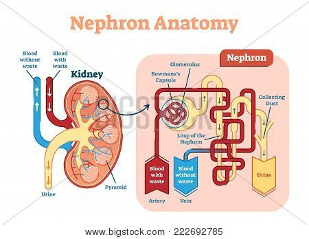 The nephron is the microscopic structural and functional unit of the kidney.