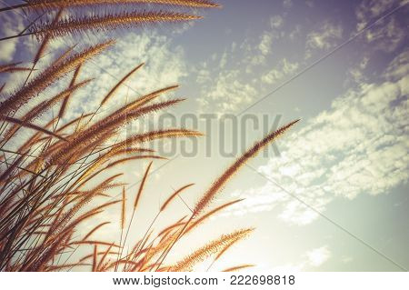 Serenity landscape of beautiful Feather pennisetum glowing against sky with sunlight as nature background. Mission grass flower are similar to the wheat. Selective focus. Vintage film filter effect.