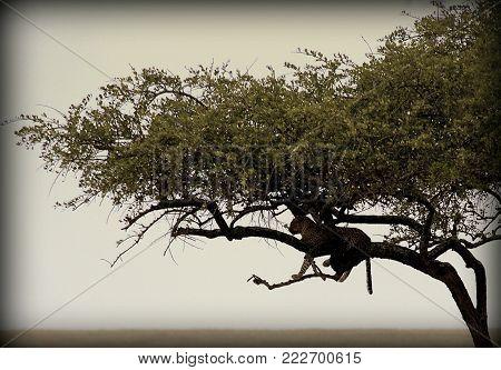 A leopard in the African sabana, Tanzania