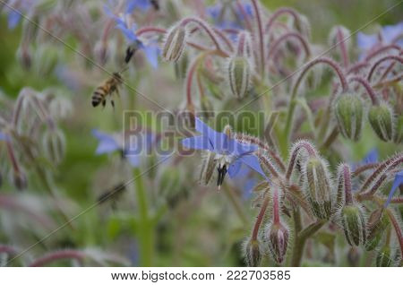 Borage, Borago officinalis blue flower also known as a starflower and honey bee flying insect. macro close up, selective focus.