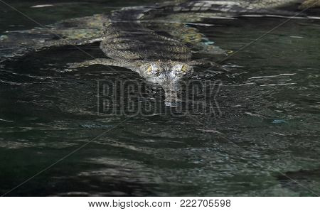 Yellow eyes peering out of the water of a gharial crocodile.
