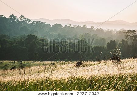 Blooming flower of grass blowing on windy day inside tropical green forest and mountains covered by fog and warm sunlight.