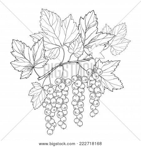 Vector branch with outline Red currant berry and leaves in black isolated on white background. Floral elements with redcurrant fruit bunch in contour style for summer design and coloring book.