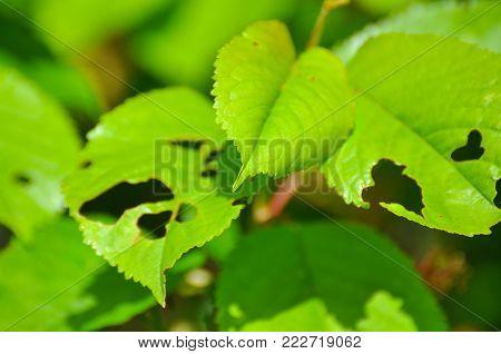 Eaten leaf in the garden, damaged leaf, pests in the garden make damage