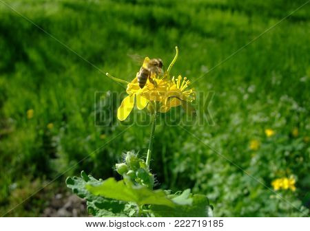 Bee flies on the flower celandine Landscape