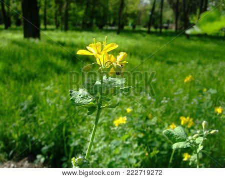 Yellow Flowers of celandine blossom botanical in garden