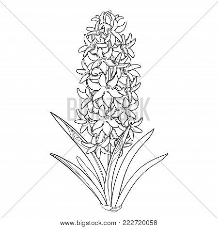 Vector bouquet with outline Hyacinth flower bunch, bud and ornate leaves in black isolated on white background. Fragrant bulbous plant in contour style for spring design or coloring book.