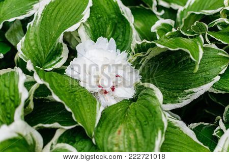 A white Peony resting on a Variegated Hosta in park