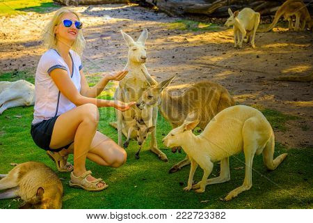 Happy young caucasian woman feeds adult Kangaroo and his joey at a park in Whiteman, near Perth, Western Australia. Female tourist enjoys Australian animals icon of the country.