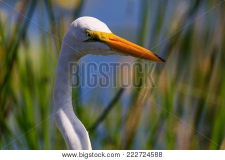 A Great Egret stands still awaiting his next meal at Everglades National Park, Florida, November 2017
