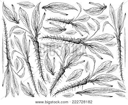 Root and Tuberous Vegetables, Illustration Hand Drawn Sketch of Fresh Scorzonera Hispanica Plants Isolated on White Background.