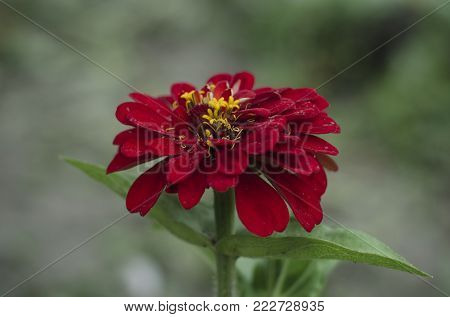 Close up of red Zinnia flower Zinnia violacea with green background