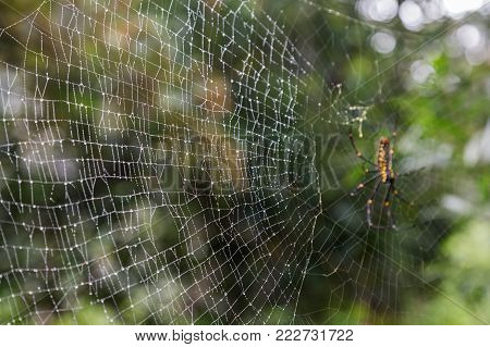 Close-up of a wet spiderweb, Golden silk orb-weaver spider (also known as giant wood spiders or banana spiders) (Nephila) on the background.