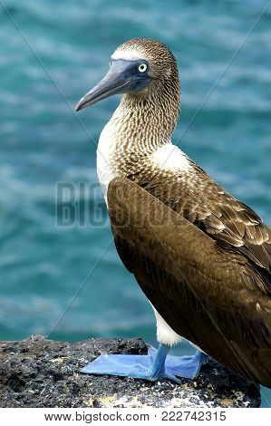 Adult Blue-footed Booby on a rock by the sea, Galapagos-Islands, Ecuador