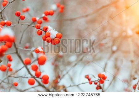 Winter background with bright red berries of mountain ash under the snow.