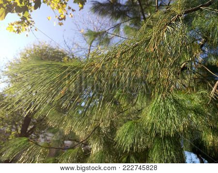Pine branches and needles in coniferous fir tree in summer forest. Close up coniferous branches in forest on blue sky background