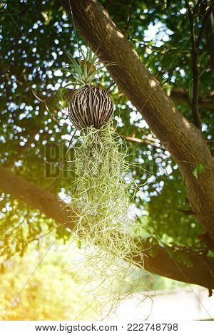 close up Tillansia usenoides plant in nature garden