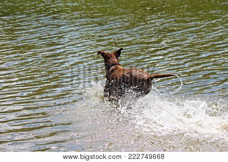 A brown log leaping through the water playing.