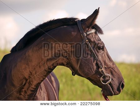 poster of portrait of cute black stallion outdoor cloudy day