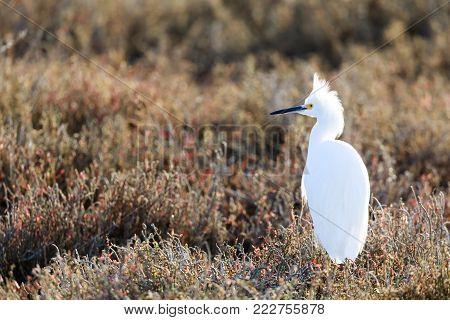 Snowy Egret (Egretta thula) with wisply plumes on head on the hunt. Santa Clara County, California, USA.