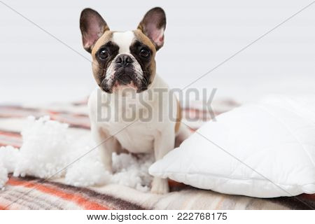 home pet destroyer lies on the bed with a torn pillow. Pet care abstract photo. Small guilty dog with funny face