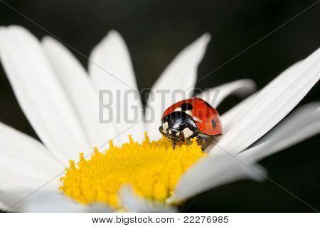 Ladybird Or Ladybug Beetle