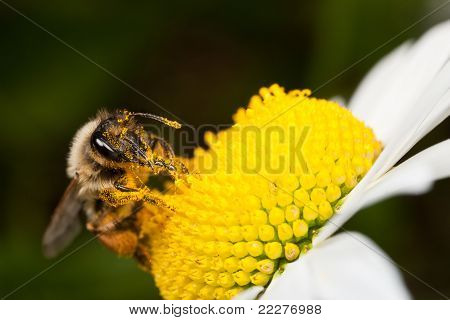 Solitary Bee Collecting Pollen