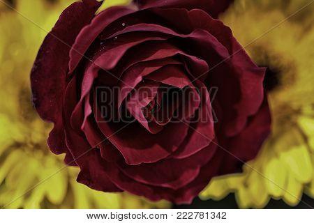 Valentine concept, Blurred beautiful rose flower dark color effect for background