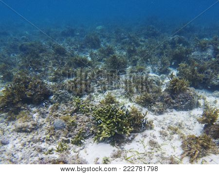 Dascillus colony in coral reef. Tropical seashore underwater photo. Coral animal. Warm seashore nature. Sea fish and coral. Undersea view of marine life. Coral reef landscape. Shallow water snorkeling