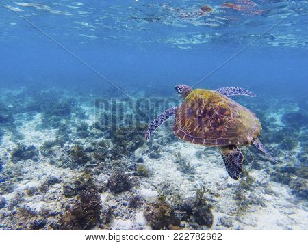 Olive green turtle in tropical sea shore. Marine tortoise underwater photo. Sea turtle in natural environment. Green turtle swims underwater. Coral reef inhabitants. Marine animal of tropical seashore
