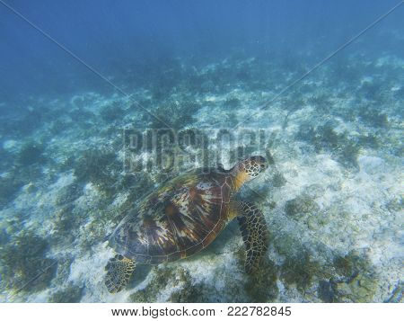 Green turtle in shallow sea bottom. Tropical seashore underwater photo. Marine tortoise undersea. Sea turtle in natural environment. Green turtle swims underwater. Marine animal of tropical seashore