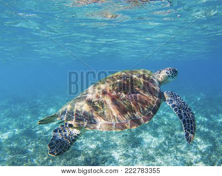Green turtle in sea sanctuary. Tropical seashore underwater photo. Marine tortoise undersea. Green turtle in natural environment. Sea turtle swims underwater. Marine animal of tropical seashore