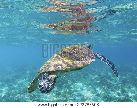 Sea turtle in shallow sea water, tropical seashore underwater photo. Marine tortoise undersea. Green turtle in natural environment. Green turtle swims underwater. Marine animal of tropical seashore