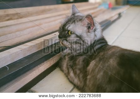 Cat of Maine Coon relaxing on the tile floor under with wooden.The Maine Coon is one of the largest domesticated breeds of cat. It has a distinctive physical appearance and valuable hunting skills.