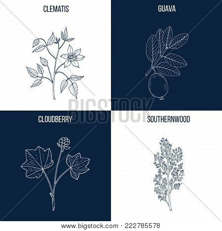 Vector collection of four hand drawn medicinal and eatable plants, clematis, guava, cloudberry, southernwood
