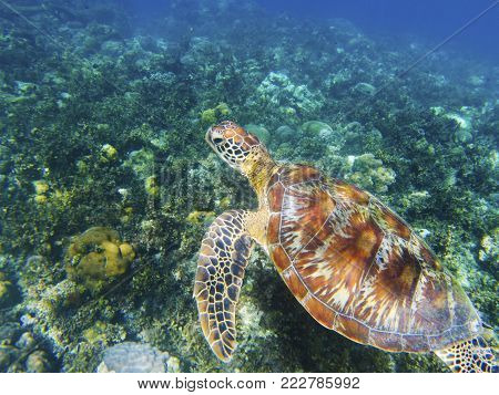 Sea turtle on green sea bottom. Tropical seashore underwater photo. Marine tortoise undersea. Green turtle in natural environment. Green turtle underwater. Marine animal of tropical seashore