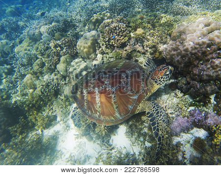 Sea turtle eats seaweed. Coral reef animal underwater photo. Marine tortoise undersea. Green turtle in natural environment. Green turtle underwater. Tropical seashore. Endangered species of animal