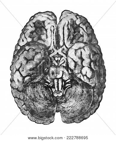 Under Surface of the Brain. Anatomy education concept - View from below of the brain and brainstem.