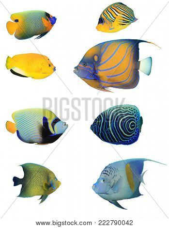 Angelfish collection. Tropical reef fish of Indian and Pacific Oceans. Fish isolated on white background