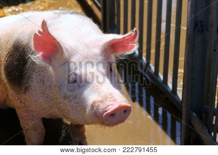 Group of domestic pink colored pig shows waiting for food in the box outdoors. Domesticated pig behind metal fence enjoy summer sunshine