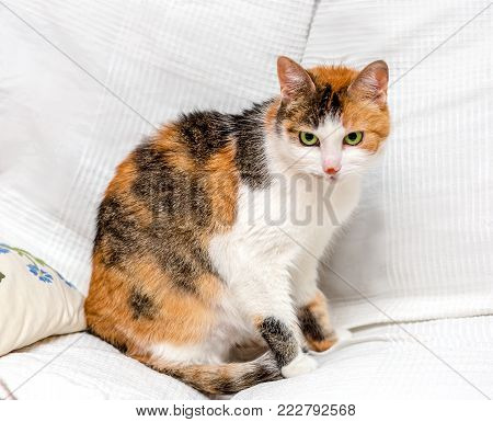 Tricolor cat with green eyes and red spot on the nose sitting on a white sofa