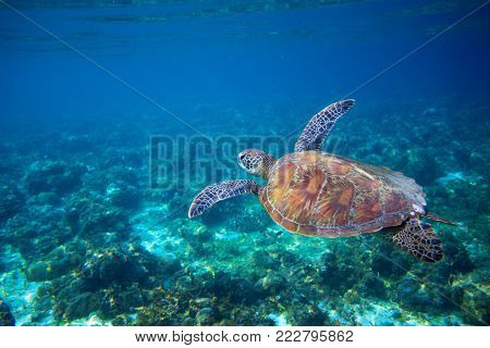 Sea turtle in seashore of tropical island. Tortoise underwater photo. Marine tortoise undersea. Green turtle in natural environment. Sea turtle swims underwater. Marine animal of tropical seashore