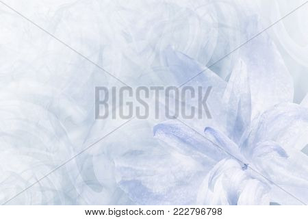 Floral  abstract light blue-white background.   Petals of a lily flower on a white blue frosty background. Close-up. Flower collage for postcard.  Nature.