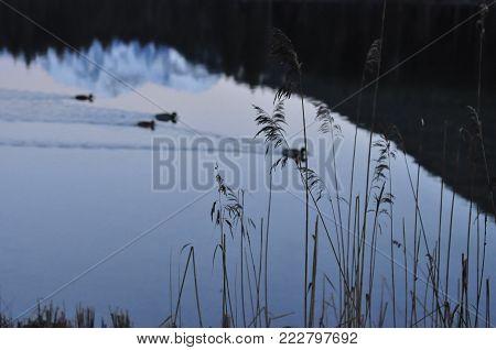 snow mountain  reflected in a lake at dawn, ducks swim in a lake at dawn