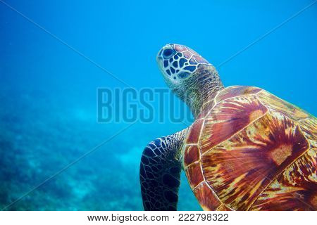 Sea turtle head in blue water. Coral reef animal underwater photo. Marine tortoise undersea. Green turtle in natural environment. Green turtle underwater. Tropical seashore. Oceanic animal portrait