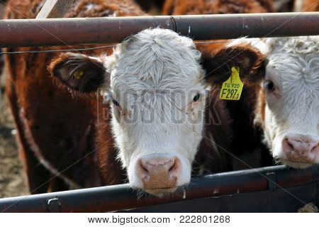 Hereford cattle farm