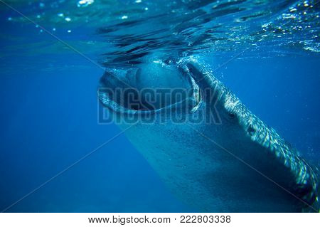 Whale shark in deep blue sea. Whale shark closeup eating plankton by sea water surface. Huge oceanic animal. Biggest shark in natural environment. Snorkeling or diving with whale shark in Philippines poster