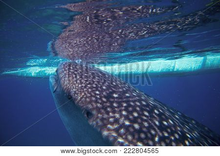 Whale shark and boat underwater photo. Whale shark head closeup by sea surface. Huge oceanic animal. Biggest shark in natural environment. Snorkeling or diving with whale shark in Philippines